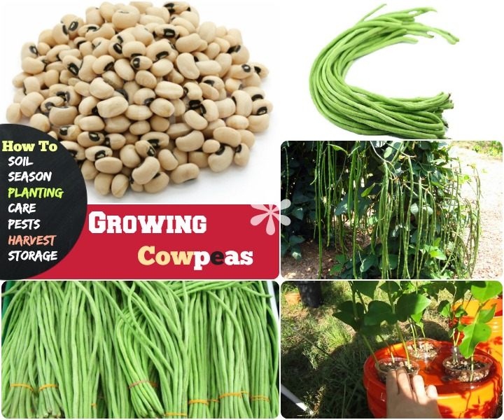 Growing cowpeas how to grow cowpea step by step ideas