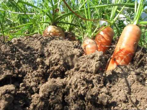 How to and when to harvest carrots
