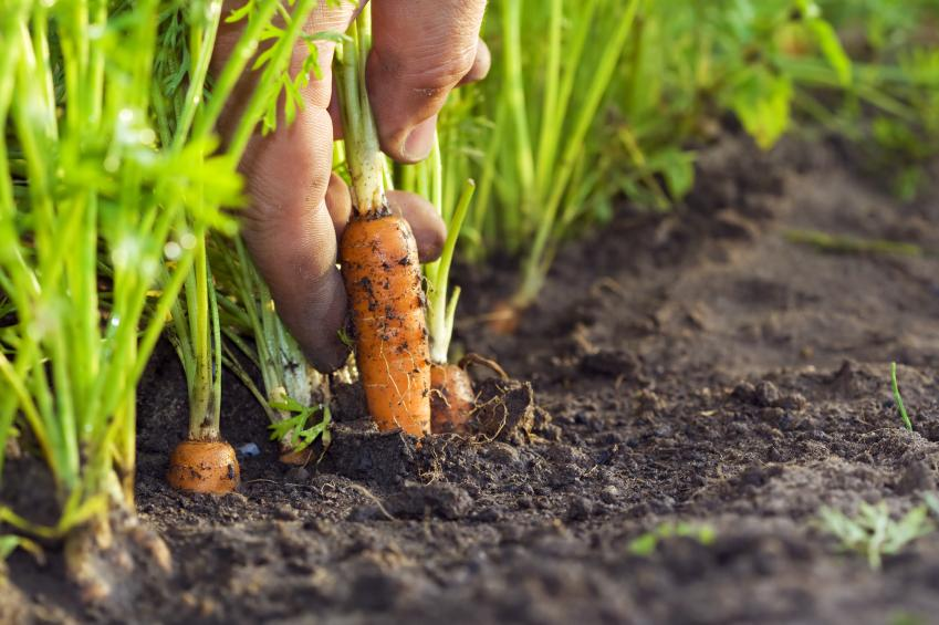 How to grow carrots growing guide step by step