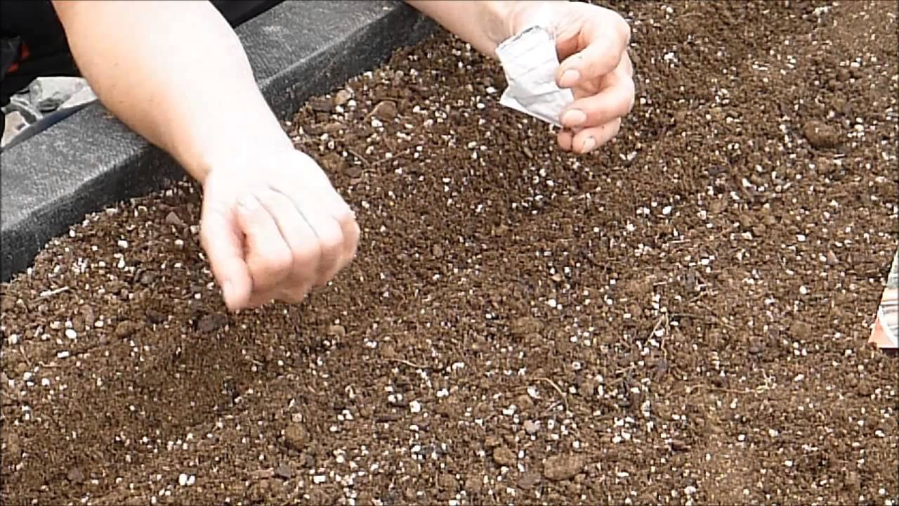 seeding carrots how to seed and plant carrots