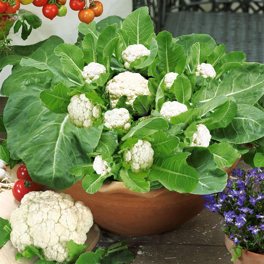 #5 Growing Cauliflower: How to Grow Cauliflower Step by ...